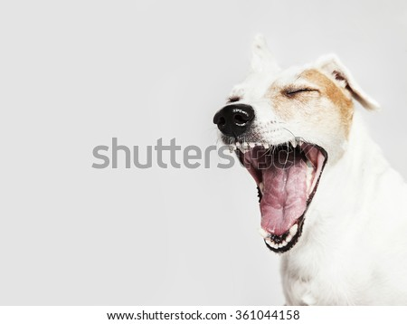 Studio portrait of the dog Russel Terrier yawning and smiling, laughing - stock photo