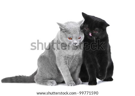 Studio portrait  of two beautiful young British blue and Black Persian cats playing on isolated white background
