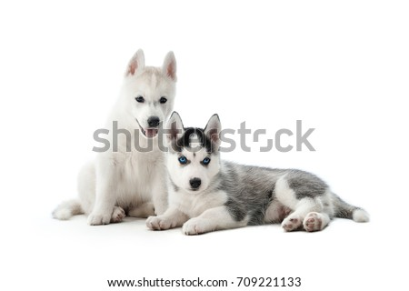Studio portrait of two cute and funny little puppies of siberian husky dog, with white and gray fur and blue eyes. Small dogs sitting on floor in studio, posing, interesting looking. Isolate on white.