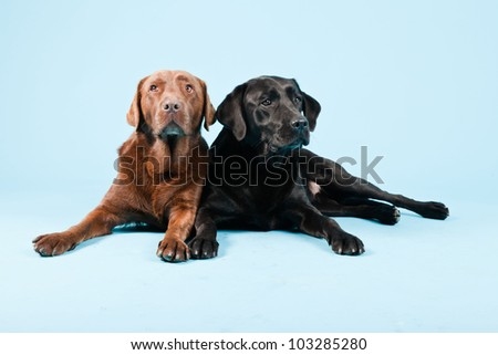 Studio portrait of two labradors isolated on light blue background. Brown and black. - stock photo