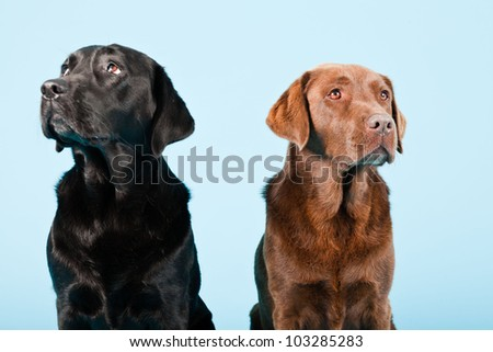 Studio portrait of two labradors isolated on light blue background. Brown and black.