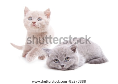 Studio portrait  of two playful young pale-yellow and gray British kittens  playing on isolated white background - stock photo