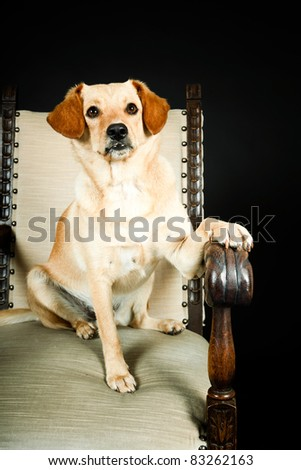 Studio portrait of yellow labrador sitting in chair isolated on black