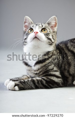 Studio portrait of young cat grey with black stripes isolated on grey background - stock photo