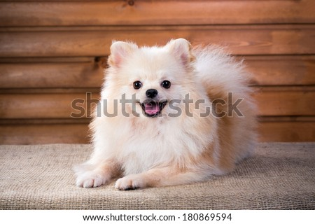 Studio portrait Pomeranian dog on a background wooden wall - stock photo