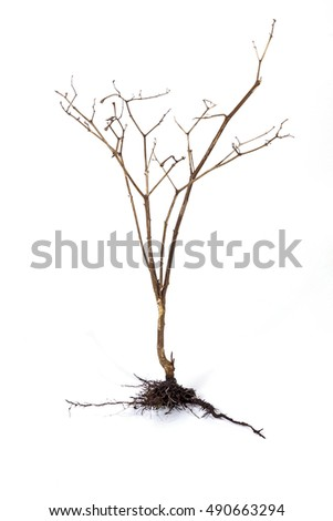 Studio shot dry dead plant and underground roots and soil on white background