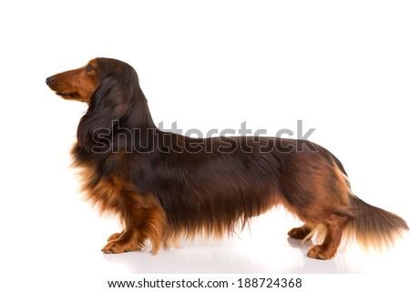 Studio shot of a beautiful long hair teckel (dachshund)  - stock photo