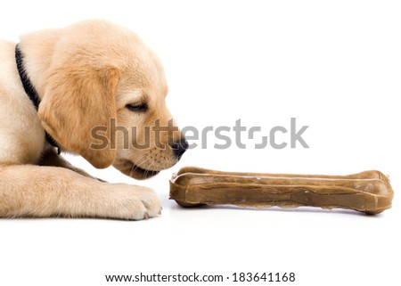 Studio shot of a cute labrador puppy playing with big bone. - stock photo