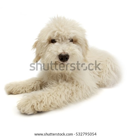 Studio shot of a cute Tibetan Terrier puppy lying on white background.