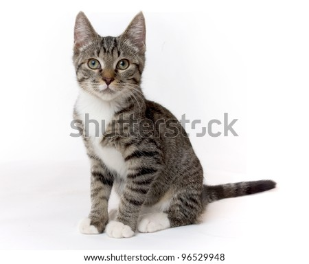 studio shot of a domestic cat