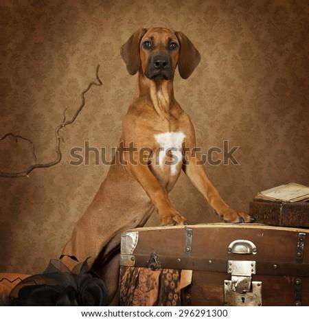 Studio shot of a four months old Rhodesian Ridgeback puppy - stock photo