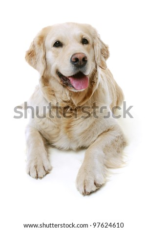 studio shot of a golden retriever - stock photo