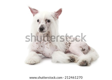 Studio shot of a purebred Hairless Chinese Crested dog isolated on white