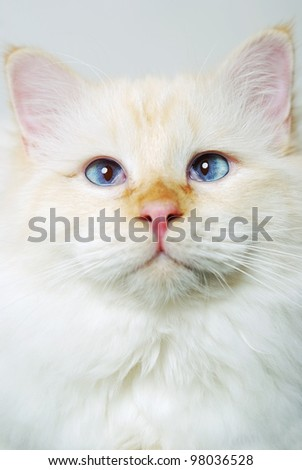 studio shot of a red point birman