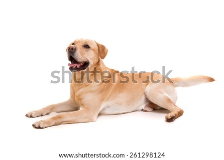 Studio shot of a young labrador, isolated over white