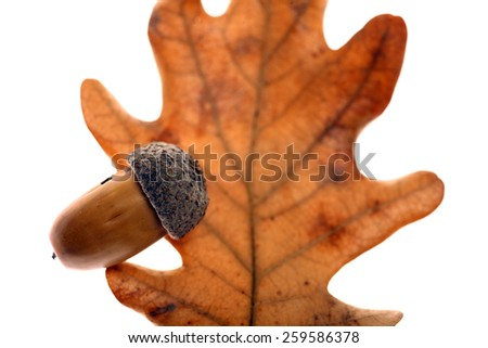 Studio shot of an acorn seed and a leaf, on white. - stock photo