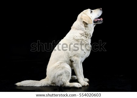 Studio shot of an adorable blind Labrador retriever sitting on black background.