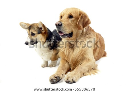 Studio shot of an adorable Corgie and a Golden retriever sitting on white background.