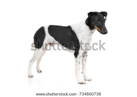 Studio shot of an adorable Fox terrier standing on white background.