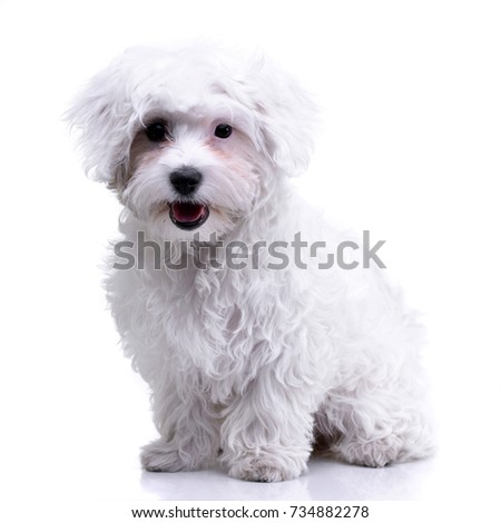 Studio shot of an adorable Havanese standing on white background.