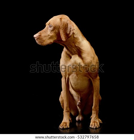 Studio shot of an adorable Hungarian Vizsla sitting on black background.