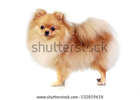 Studio shot of an adorable Pomeranian dog standing on white background.