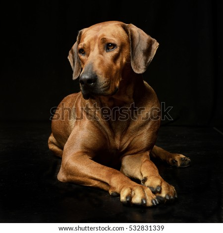 Popular Rhodesian Ridgeback Black Adorable Dog - stock-photo-studio-shot-of-an-adorable-rhodesian-ridgeback-lying-on-black-background-532831339  Best Photo Reference_14917  .jpg