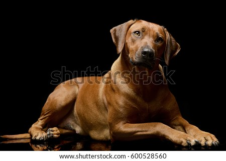 Must see Rhodesian Ridgeback Black Adorable Dog - stock-photo-studio-shot-of-an-adorable-rhodesian-ridgeback-lying-on-black-background-600528560  Pictures_714187  .jpg