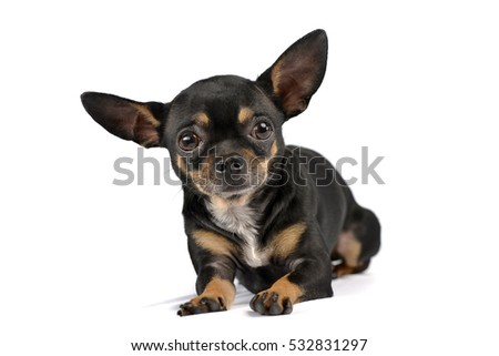 Studio shot of an adorable short haired Chihuahua lying on white background.