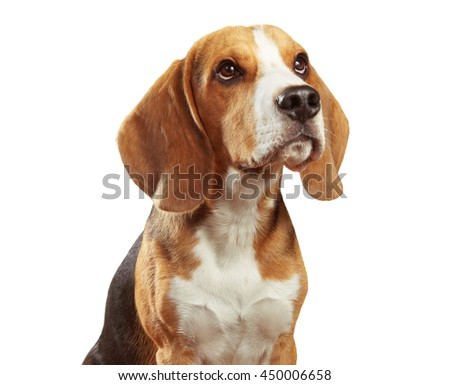 Studio shot of beagle isolated on white background
