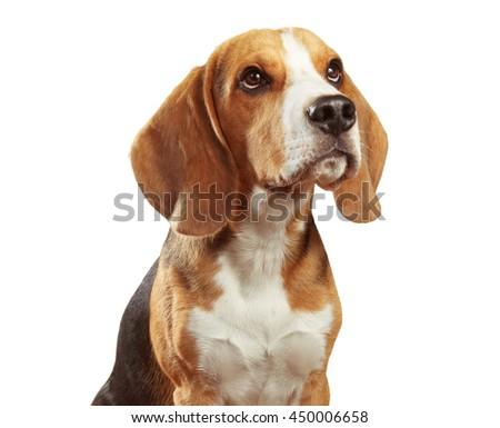 Studio shot of beagle isolated on white background - stock photo