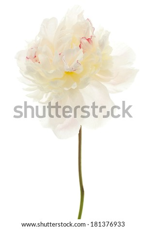 Studio Shot of Beige Colored Peony Flower Isolated on White Background. Large Depth of Field (DOF). Macro.