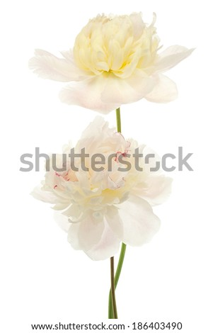 Studio Shot of Beige Colored Peony Flowers Isolated on White Background. Large Depth of Field (DOF). Macro. - stock photo