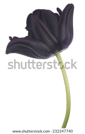 Studio Shot of Black Colored Tulip Flower Isolated on White Background. Large Depth of Field (DOF). Macro. National Flower of The Netherlands, Turkey and Hungary. - stock photo
