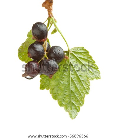Studio shot of black currant branch - stock photo