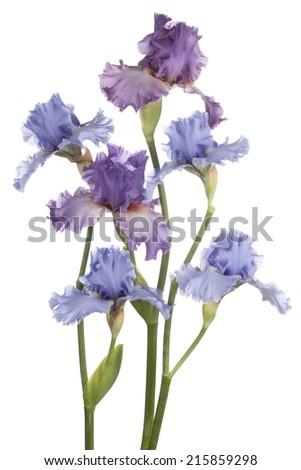 Studio Shot of Blue and Magenta Colored Iris Flowers Isolated on White Background. Large Depth of Field (DOF). Macro. Emblem of France. - stock photo