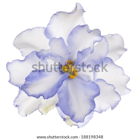 Studio Shot of Blue Colored African Violet Flower Isolated on White Background. Large Depth of Field (DOF). Macro. - stock photo
