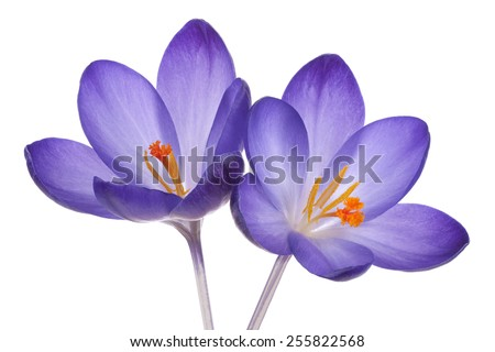 Studio Shot of  Blue Colored Crocus Flowers Isolated on White Background. Large Depth of Field (DOF). Macro. - stock photo