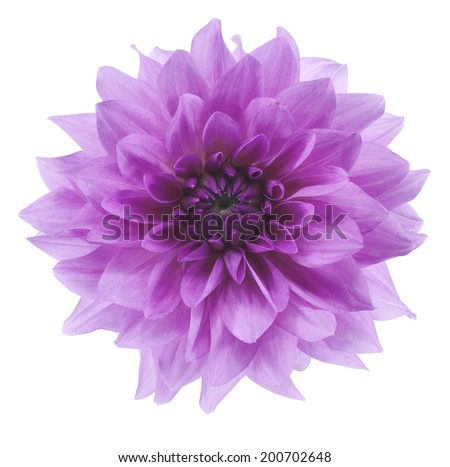 Studio Shot of Blue Colored Dahlia Flower Isolated on White Background. Large Depth of Field (DOF). Macro. Symbol of Elegance, Dignity and Good Taste. - stock photo