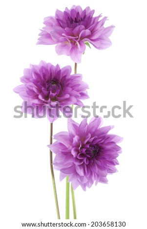 Studio Shot of Blue Colored Dahlia Flowers Isolated on White Background. Large Depth of Field (DOF). Macro. Symbol of Elegance, Dignity and Good Taste. - stock photo