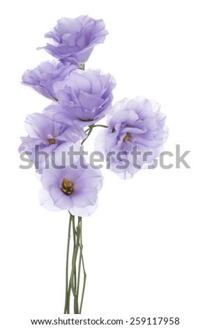 Studio Shot of Blue Colored Eustoma Flowers Isolated on White Background. Large Depth of Field (DOF). Macro. - stock photo