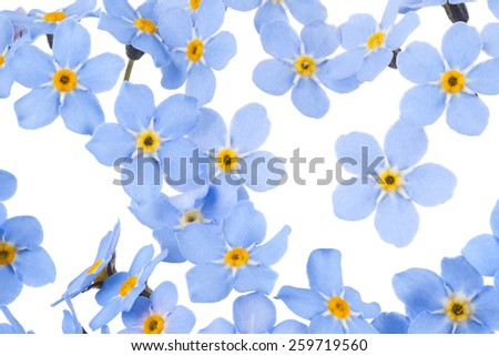 Studio Shot of  Blue Colored Forget-me-not  Flowers Isolated on White Background. Large Depth of Field (DOF). Macro. Symbol of True Love. - stock photo