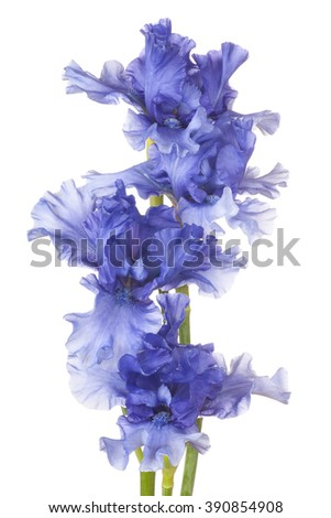 Studio Shot of Blue Colored Iris Flowers Isolated on White Background. Large Depth of Field (DOF). Macro. - stock photo