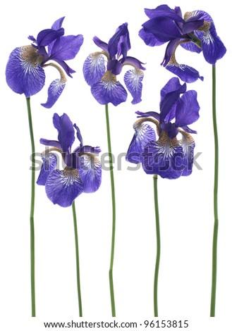 Studio Shot of Blue Colored Iris Flowers Isolated on White Background. Large Depth of Field (DOF). Macro. Emblem of France. - stock photo