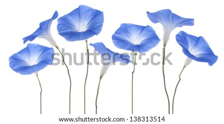 Studio Shot of Blue Colored Morning Glory Flowers Isolated on White Background. Large Depth of Field (DOF). Macro. - stock photo