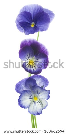 Studio Shot of Blue Colored Pansy Flowers Isolated on White Background. Large Depth of Field (DOF). Macro. Symbol of Fun and Reminiscence.