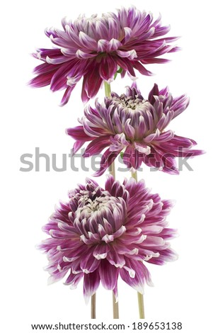 Studio Shot of Burgundy Colored Dahlia Flowers Isolated on White Background. Large Depth of Field (DOF). Macro. Symbol of Elegance, Dignity and Good Taste. - stock photo