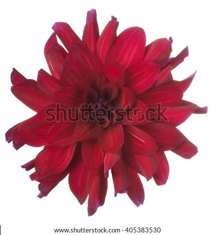 Studio Shot of Burgundy-red Colored Dahlia Flower Isolated on White Background. Large Depth of Field (DOF). Macro. - stock photo