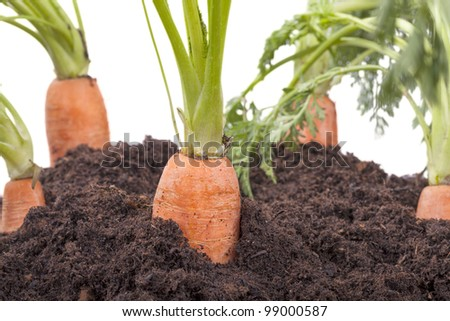 studio-shot of carrots growing in soil, isolated on a white background