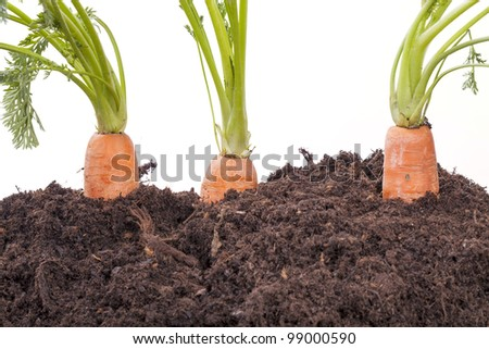 studio-shot of carrots growing in soil, isolated on a white background - stock photo